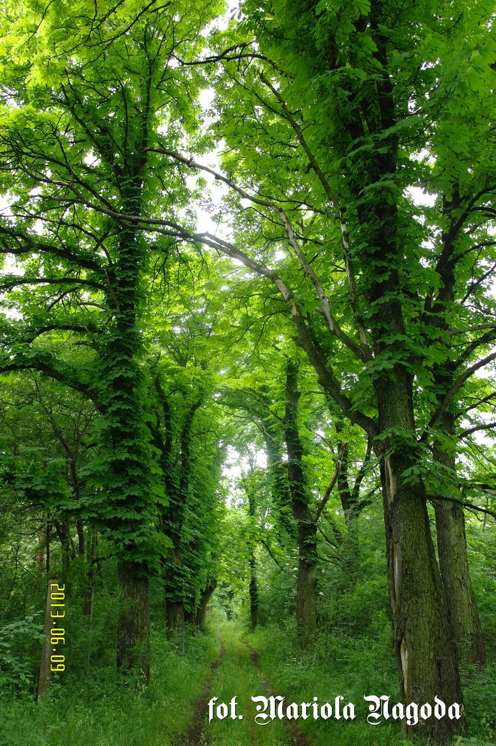 Kosorowice las- droga 2